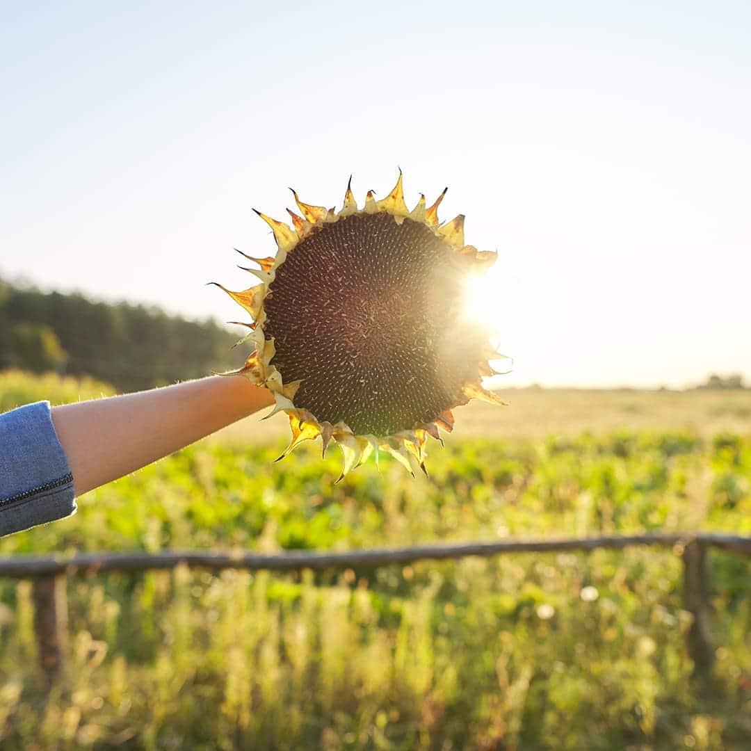 Słonecznik - ziarenka pełne słońca